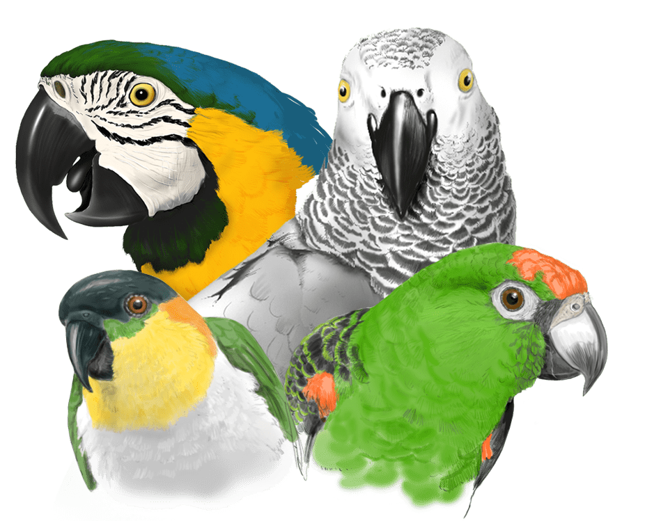 Psittacus cría pájaros